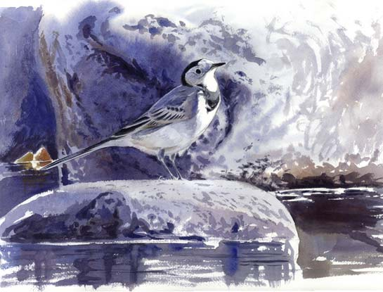 white wagtail bird art by artist Francisco José Hernández