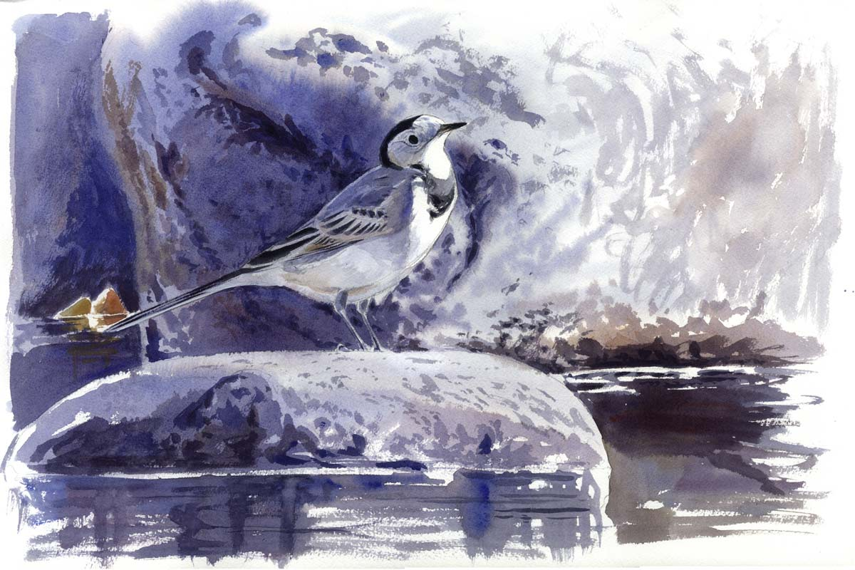 White Wagtail Bird Painting by Francisco José Hernández