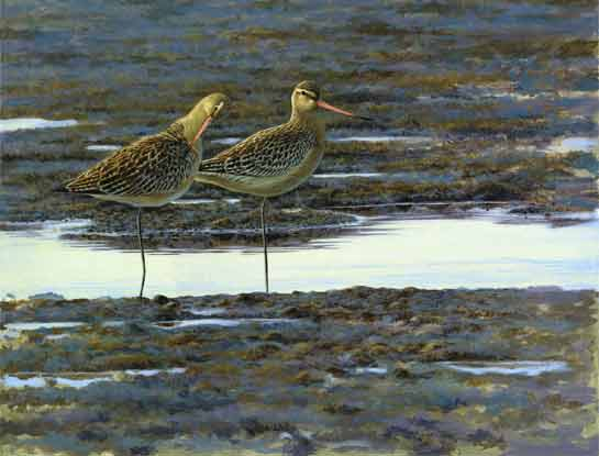 bar tailed godwits bird art by artist Jonathan latimer