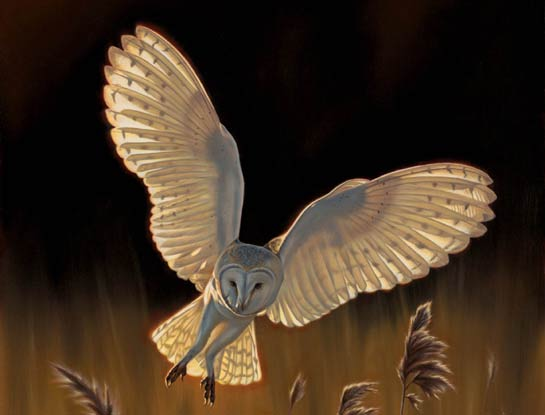 barn owl bird art by bird artist Steven Lingham