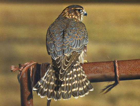 merlin bird art by bird artist Steven Lingham