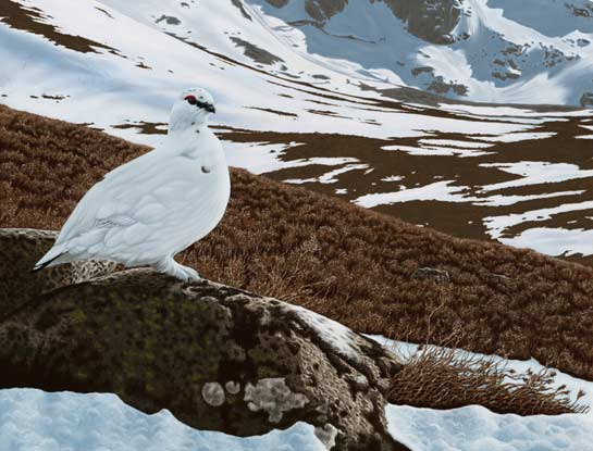 ptarmigan bird art by bird artist Steven Lingham