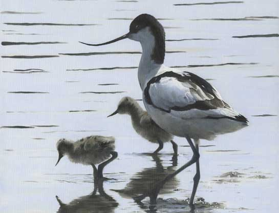avocet bird art by artist Clive Meredith